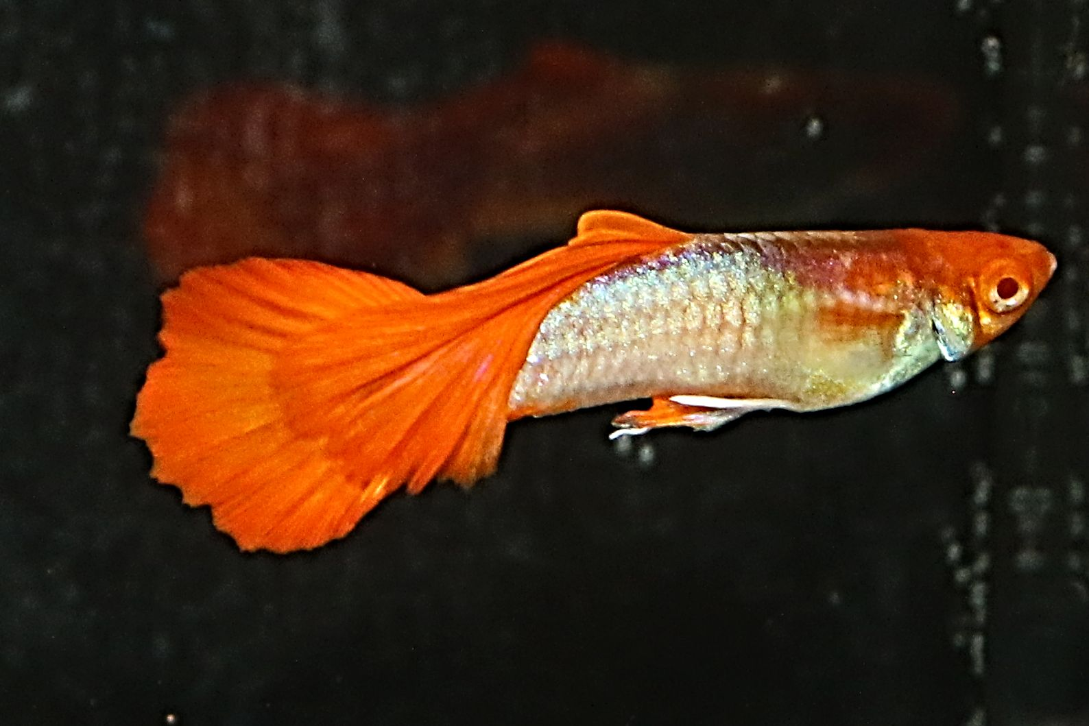 Poecilia reticulata - Red tuxedo koi albino red nose