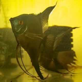 Pterophyllum Scalare pinoy black