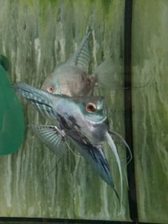 Pterophyllum Scalare blue marble